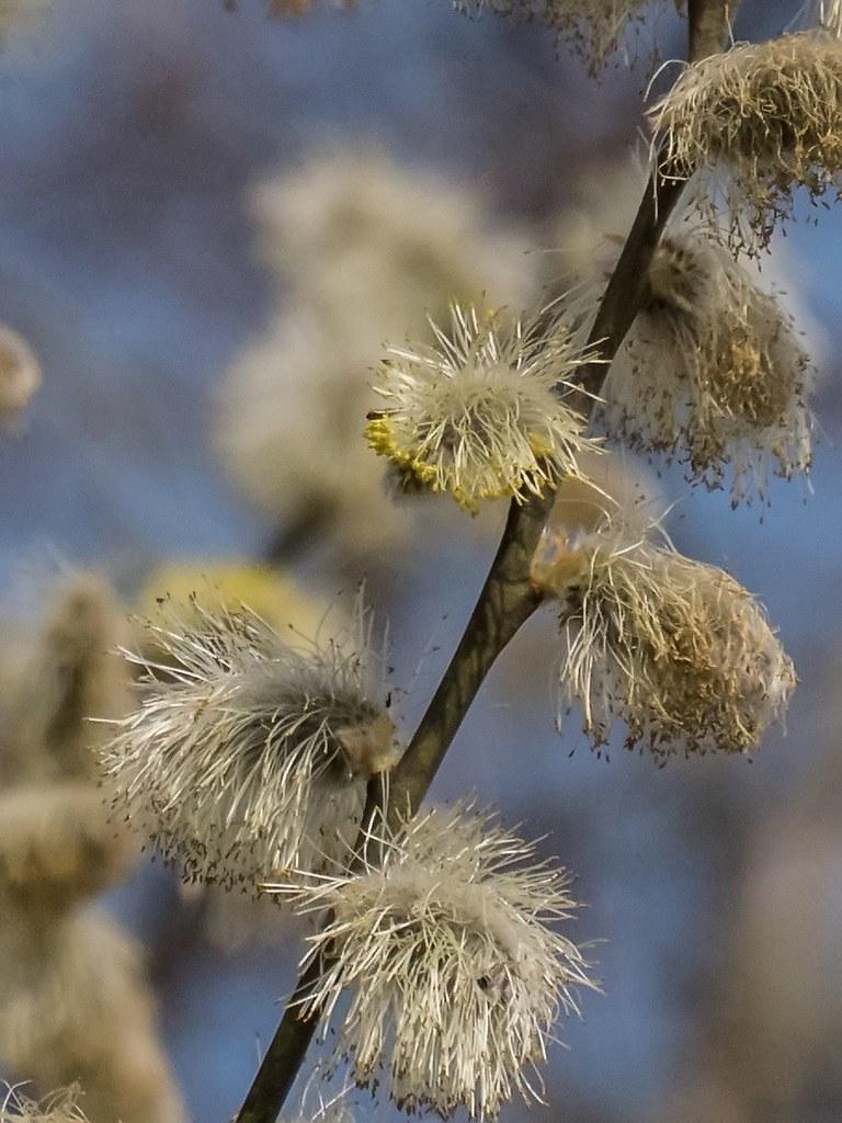 Fleurs de Saule... 40259995455_b482918df2_b