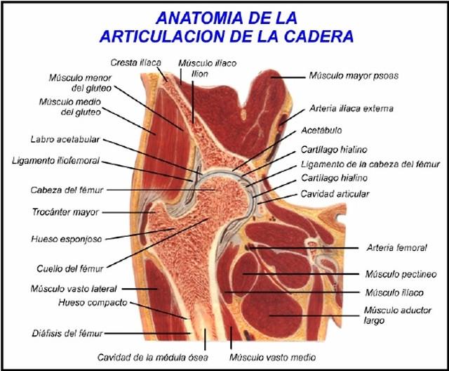 Figura 8 - Anatomía de la cadera normal adulto