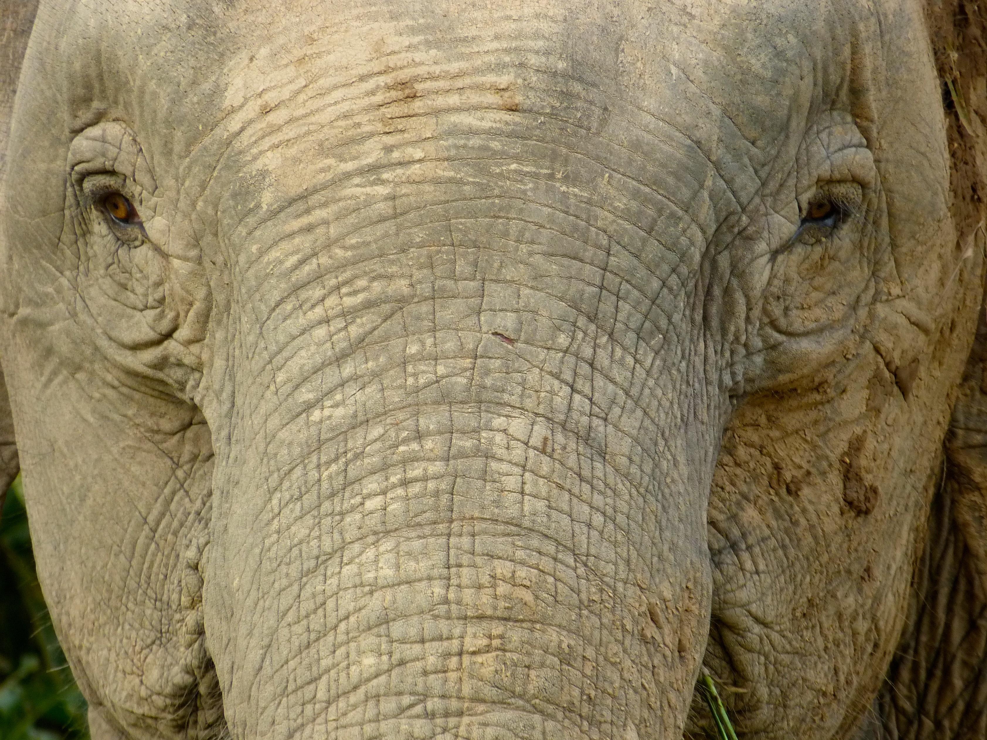 A close-up of the face of an elephant near Kinabatangan River, Sukau, Sabah, Malaysia. Photo taken on September 22, 2012.