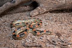 Rhinocheilus lecontei - Pinal County, AZ