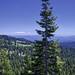 Sierra Lodgepole Pine on Mt Shasta