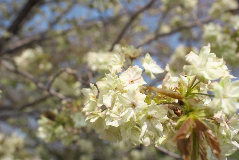 谷中霊園の鬱金桜