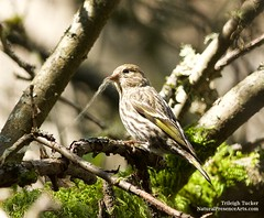 Pine Siskin working to detach lichen for nest