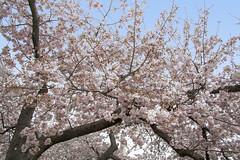 Cherry Blossoms 6 Apr 2018  (214)