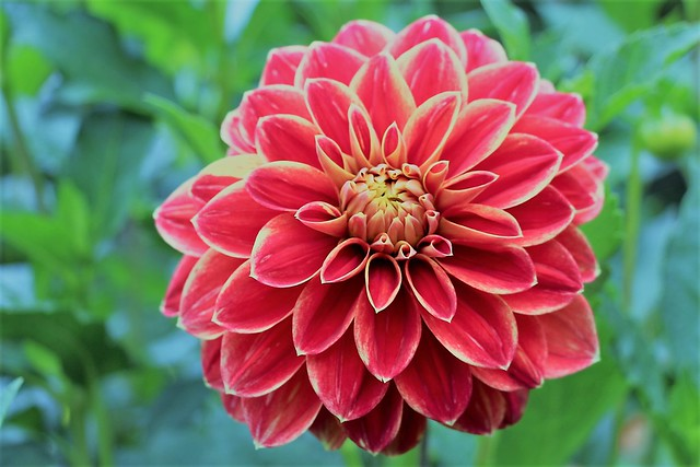 Dahlia, Canon EOS 650D, Canon EF-S18-135mm f/3.5-5.6 IS STM