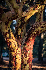 Ikaria - Tree with peeling red bark