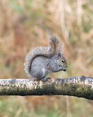 Grey Squirrel - Lunch On The Log - Thornley Woods