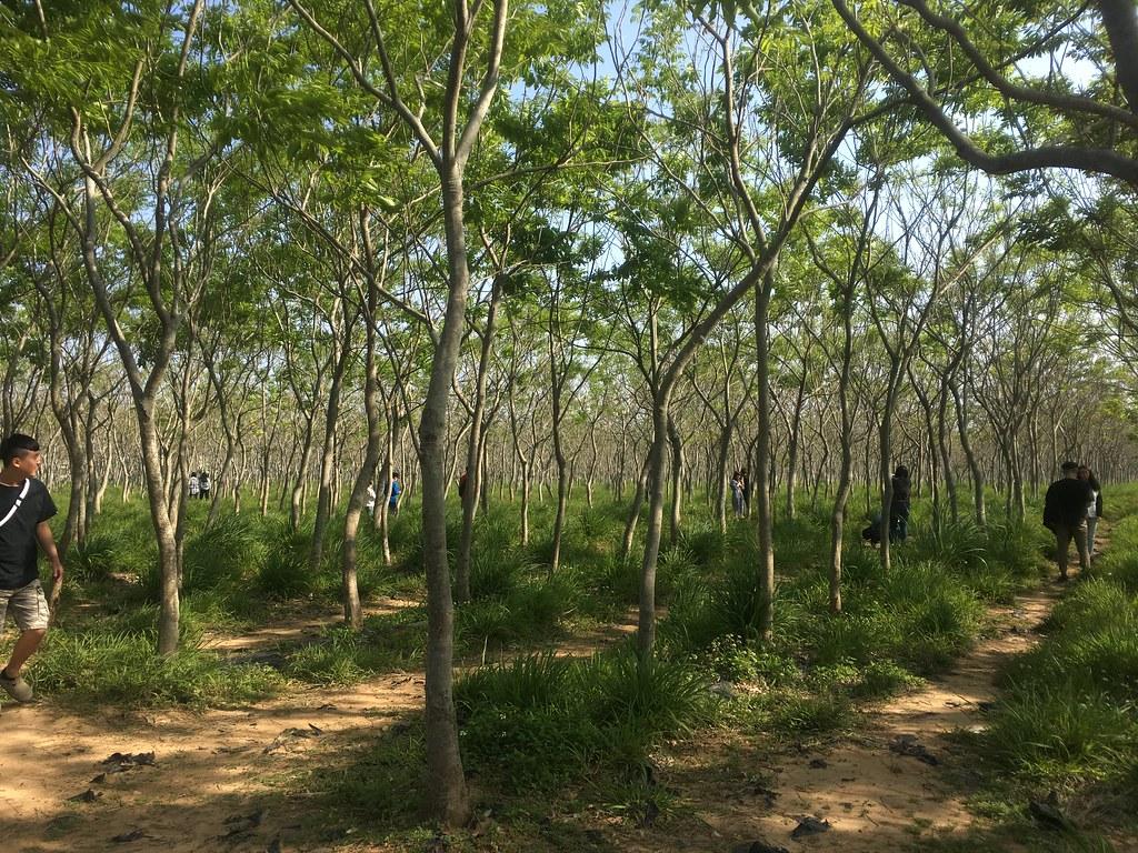 【台中旅遊景點推薦】后里龍貓隧道 - 無患子森林 超多人