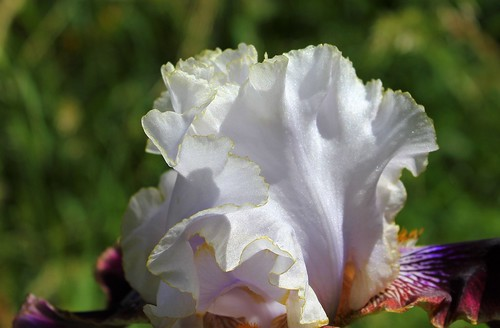 Iris 'Filigrane' - J-C. Jacob 2012 41956323285_a872d9d102