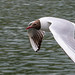Brown headed gull in Reading