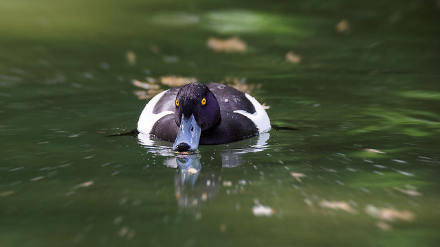 Tufted Duck / Fuligule Morillon : zooming