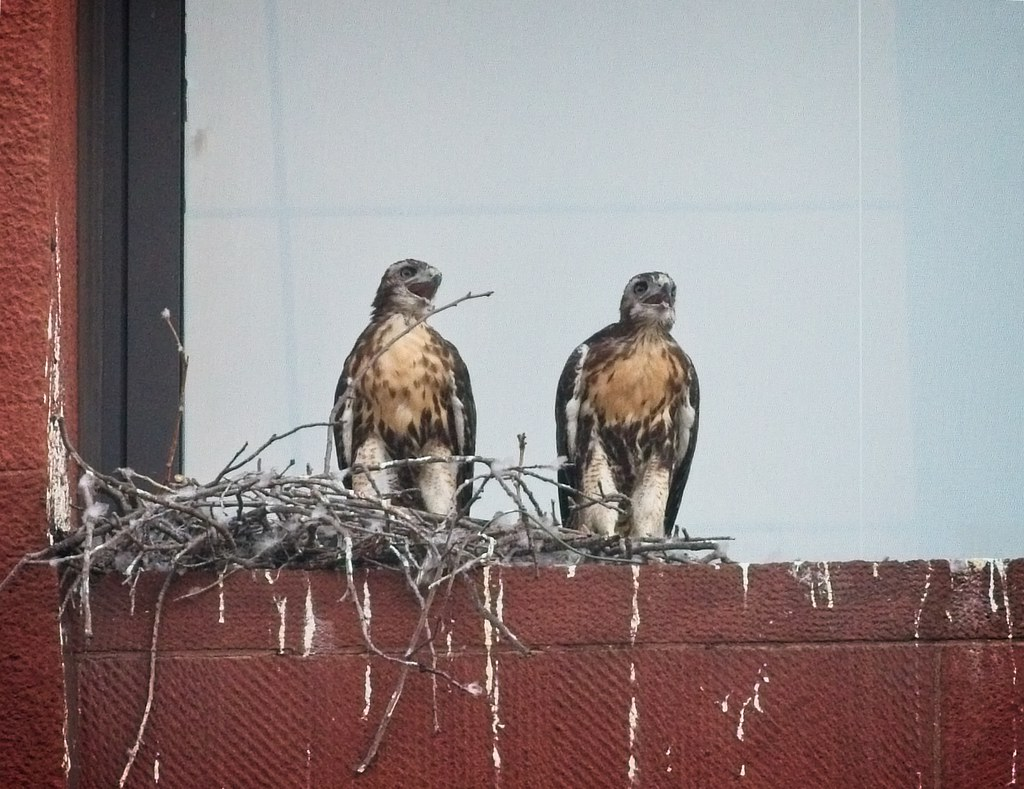 Washington Square nestlings #2 & #3