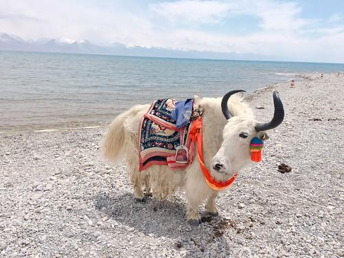 西藏犛牛@天湖納木措