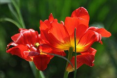 Парад тюльпанов (Tulip parade)