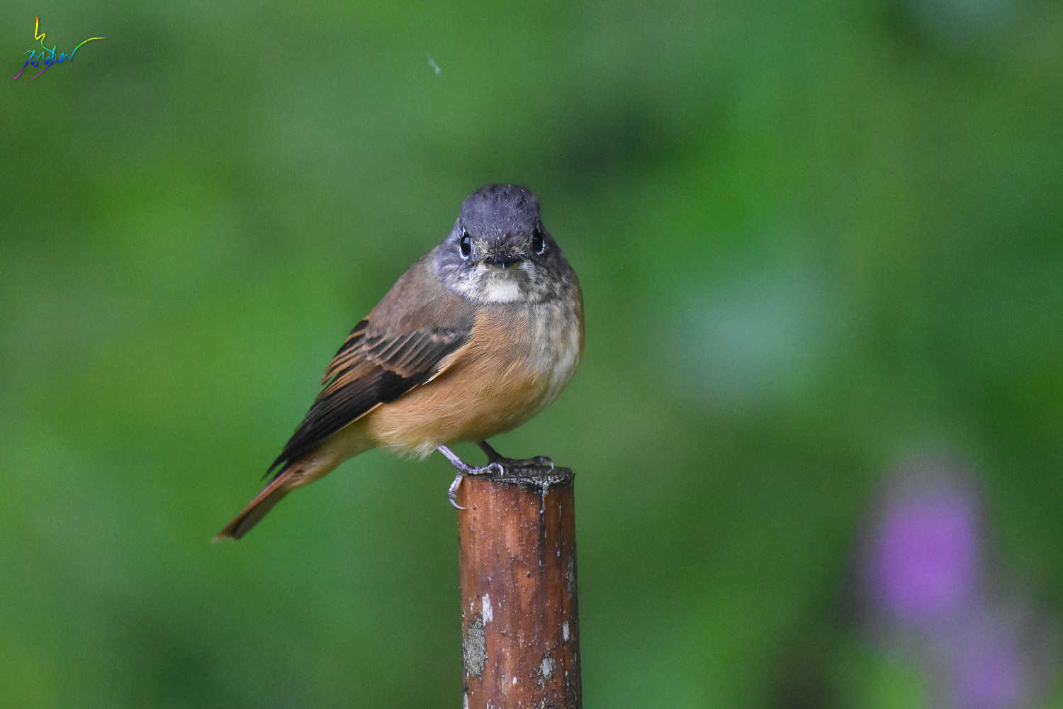 Ferruginous_Flycatcher_7004