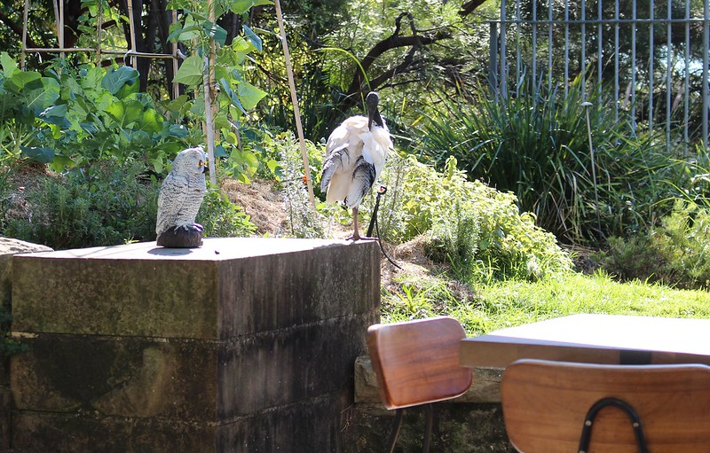 Ibis at Art Gallery of NSW