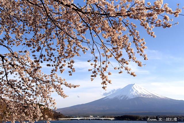 富士山河口湖櫻花季主會場64