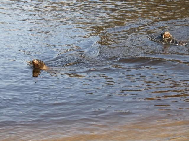 Kalifornischer Seelöwe, AquaZoo Friesland