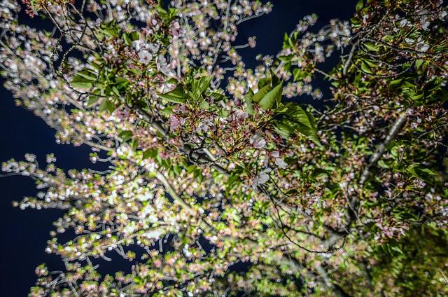 Cherry blossom close Toji night