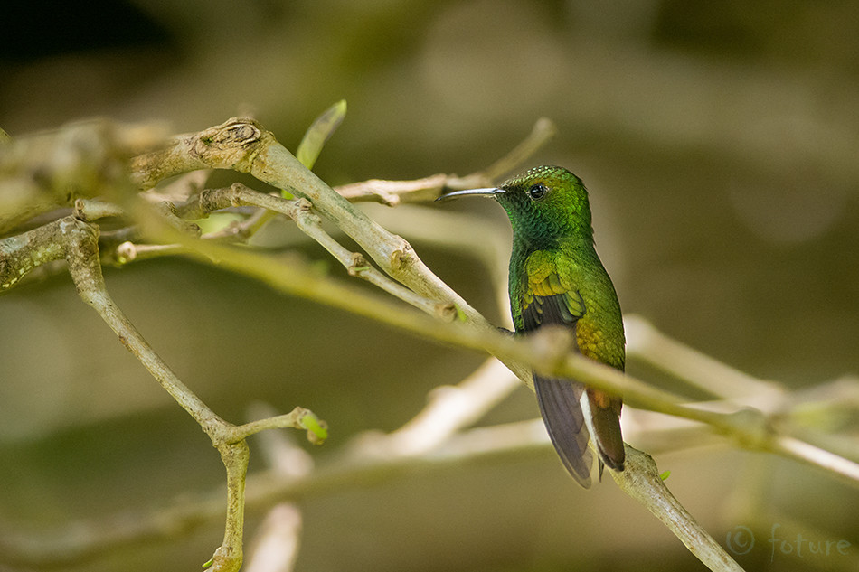 koolibri, Elvira, cupreiceps, Eupherusa, hummingbird, Lawrencius, Coppery, headed, Emerald, Curi, Cancha, Reserve, Costa Rica, Kaido Rummel