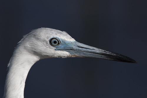 littleblueheron egrettacaerulea