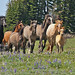 Wild Horse group led by a black stallion 0R7E5789 by WildImages