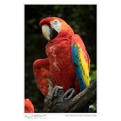 Scarlet macaw (Ara macao), Guayaquil, Ecudor