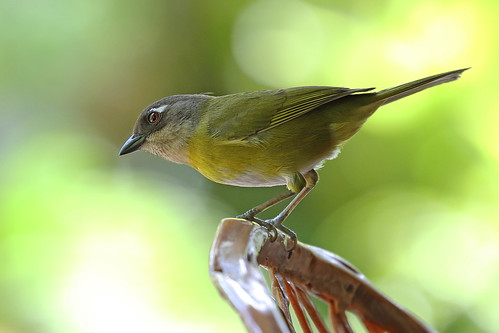 A87A7136 Common Chlorospingus (Common bush tanager)