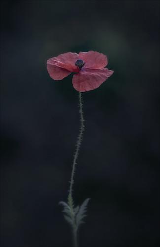 The very first garden poppy