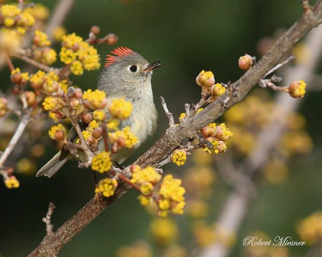 Ruby-crowned Kinglet Singing