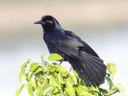 Boat-tailed Grackle 03-20180414