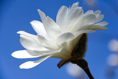 Magnolia Blossom Time
