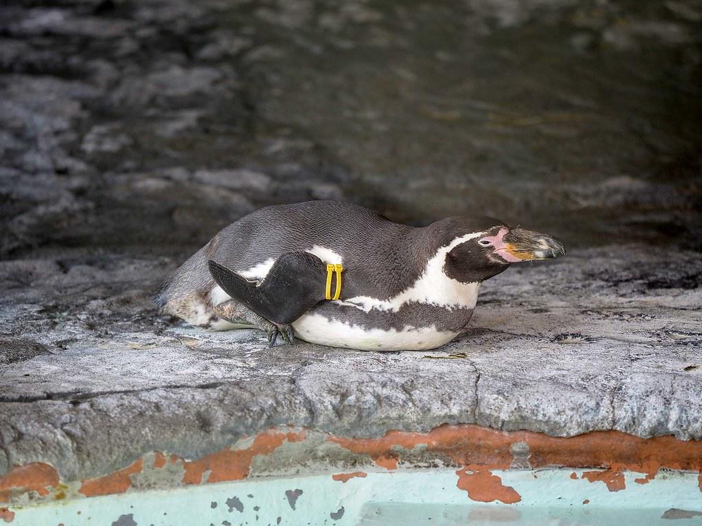 フンボルトペンギン/300mm相当