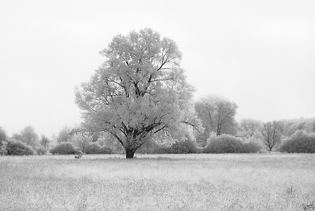 Lone Tree on a Meadow