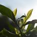 Les feuilles de thé dans le jardin du Hong Xiang Luo