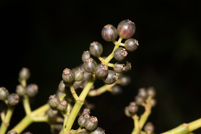 Miconia calophylla, Nikon D810, AF Micro-Nikkor 60mm f/2.8D