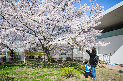日本庭園前ゲート付近で桜を撮る嫁