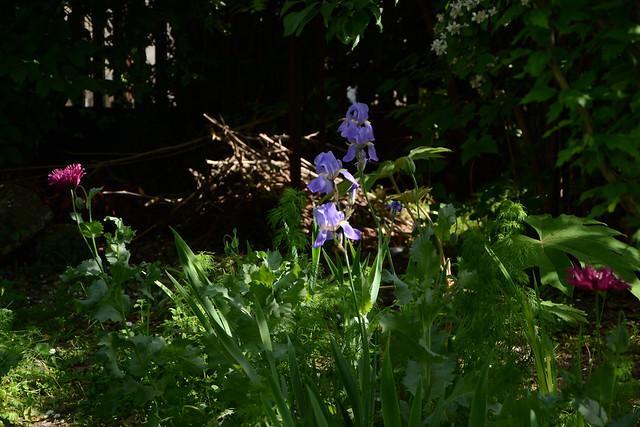 les jardins sont beaux en mai ! - Page 6 41639629904_07e006234c_z