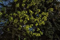 Дуб расцвел - Oak bloomed