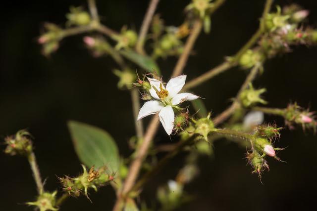 Tibouchina longifolia, Nikon D810, AF Micro-Nikkor 60mm f/2.8D