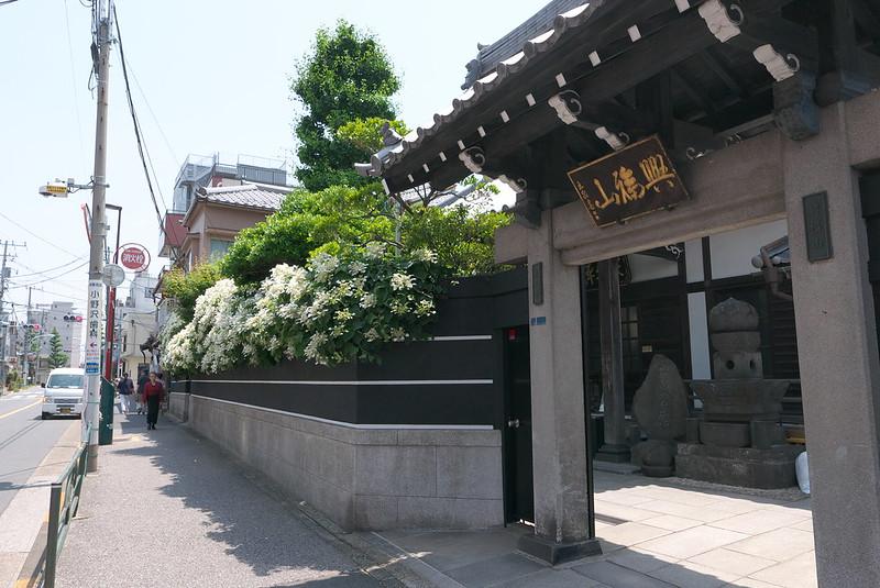 台東区谷中 永久寺のイワガラミ