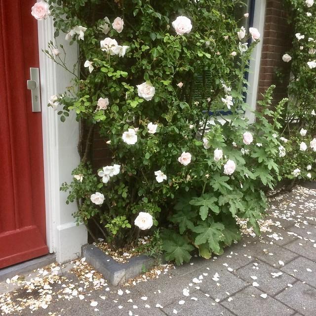 Sneeuw van rozenblaadjes