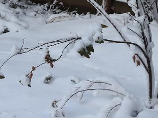 雪の朝3 小手毬