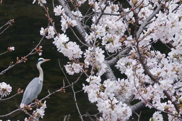 Japanese Spring 日本の春