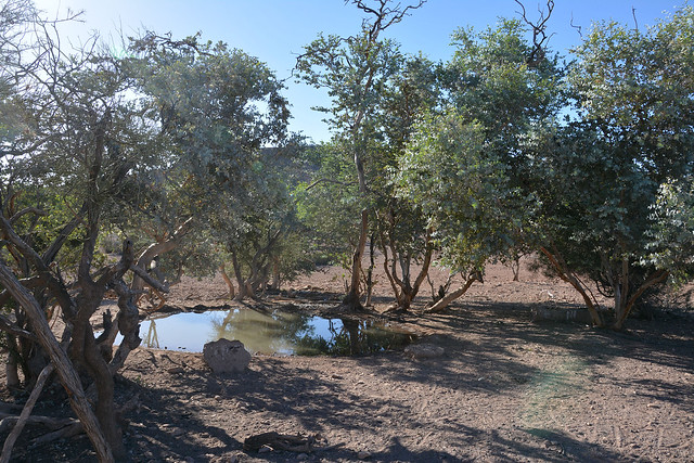 Water hole surrounded by eucalyptus gillii on Balcanoona Station, North Flinders Ranges, South Australia