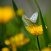 Green veined white butterfly on buttercup