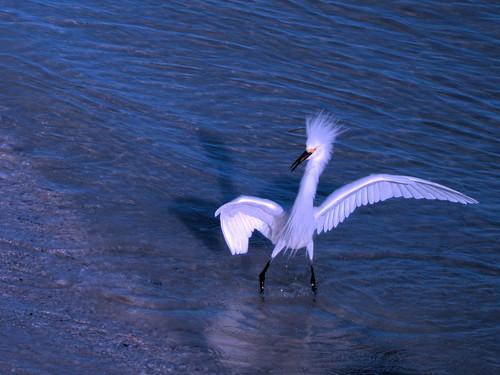 Snowy Egrets CROP2 01-20180403