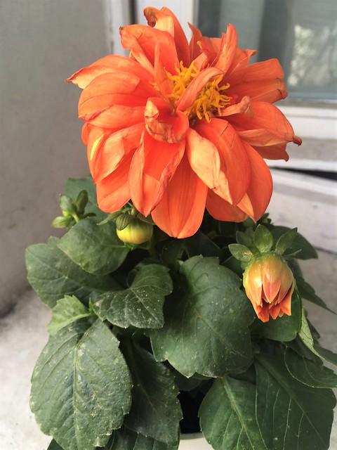 Koningsdag bloem
