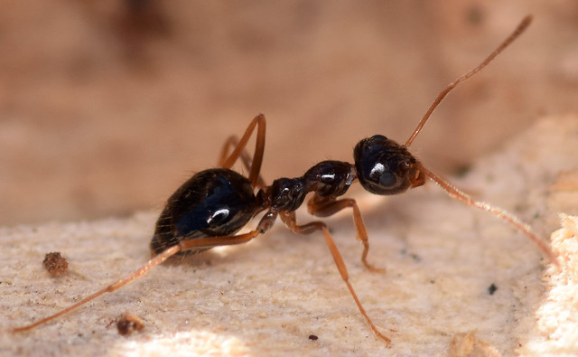 3.3 mm winter ant