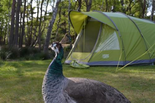 Acampando con pavo reales en Brownsea Island